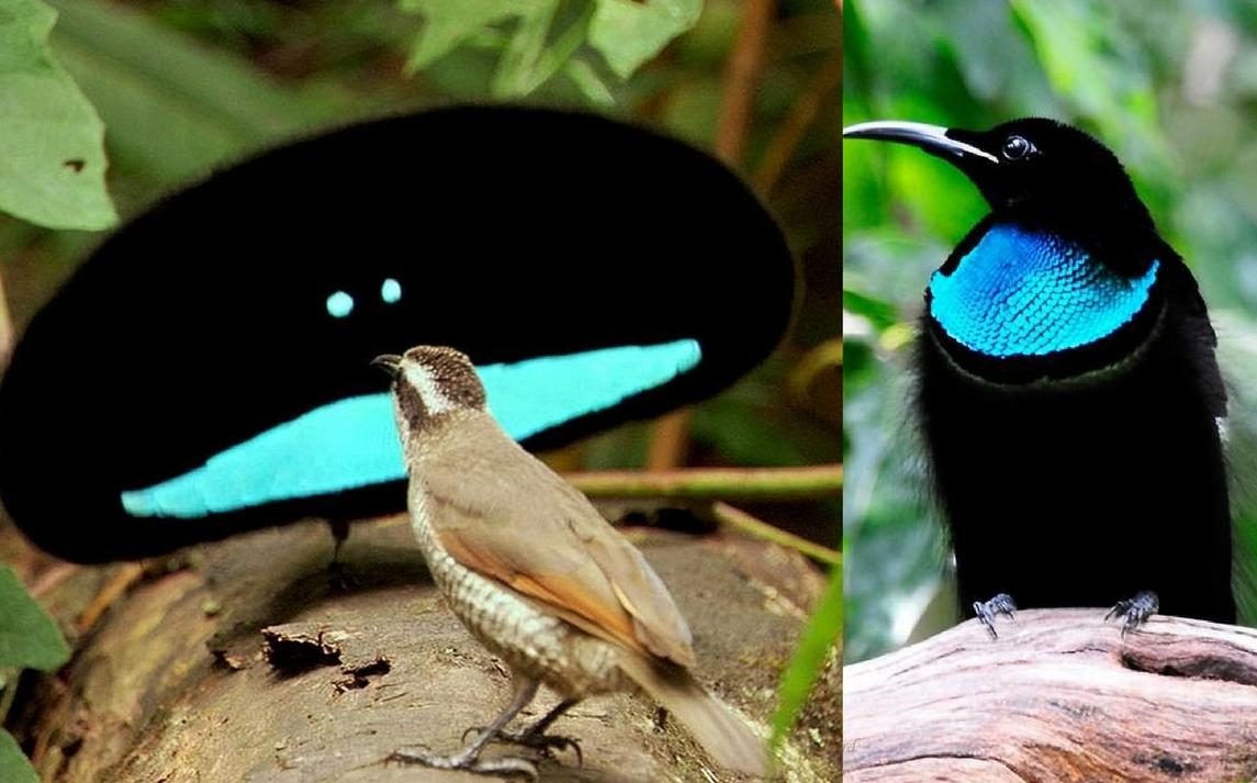 uccelli di un corteggiamento di piume Sam e Stephanie incontri
