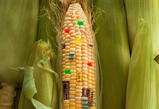 MAIS OGM, PER UNO STUDIO ITALIANO NON CI SONO RISCHI PER LA SALUTE