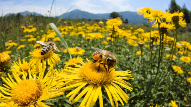 bees-on-yellow-flowers-6630