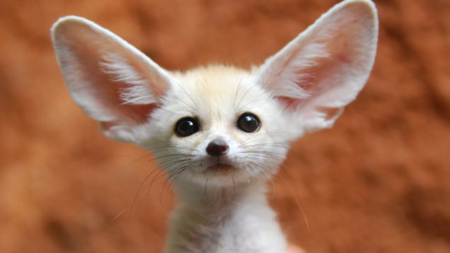 fennec-foxes-as-pets-2