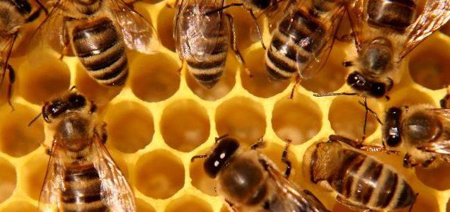 come-allevare-le-api-e-il-ruolo-dell-apicoltore-it-000