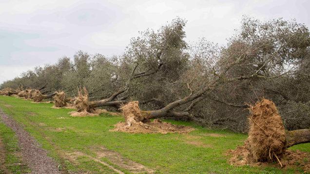 xylella-olivi