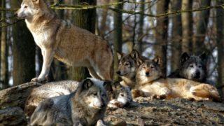 Wikipedia_Das_Wolfsrudel_im_Wildpark_Bad_Mergentheim-900×578-880×565