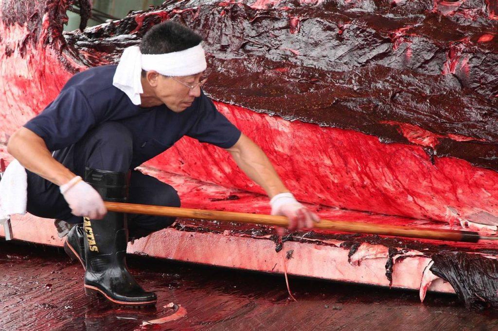 Balene: il Giappone riprende la caccia commerciale