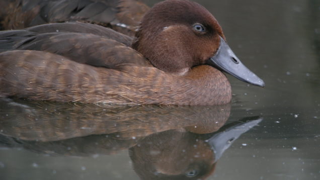 Madagascar_Pochard,_Captive_Breeding_Program,_Madagascar_4