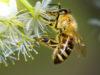 glifosato api