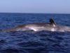 ponza balena