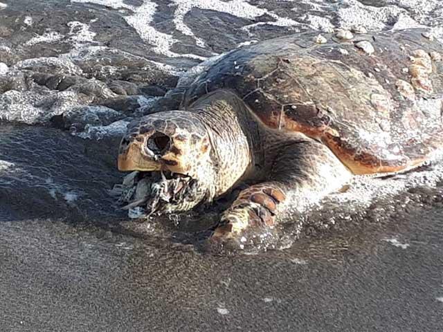 Tartaruga Caretta caretta ritrovata morta, la bocca strabordante di plastica