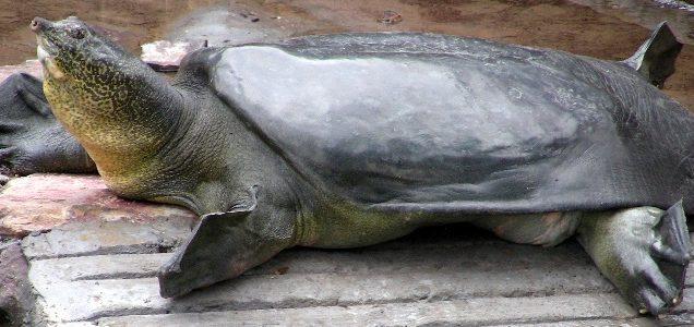 tartaruga delllo yangtze