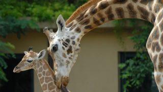 Giraffa-camelopardalis2-700×465