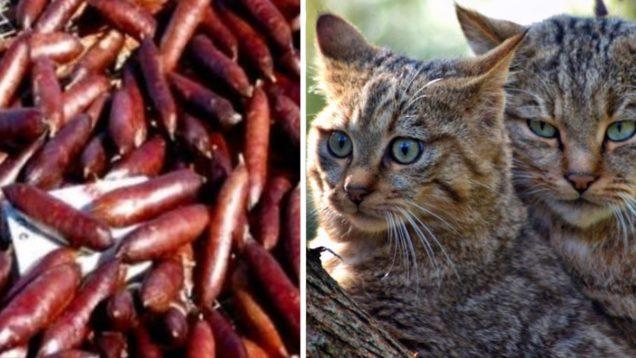 gatti australia