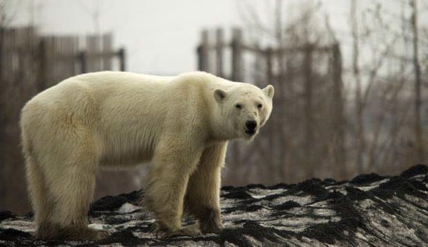 orso polare rifiuti