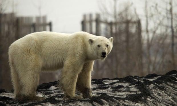 Orso polare viaggia per centinaia di chilometri e finisce in mezzo ai rifiuti VIDEO