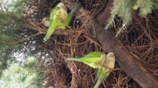 pappagalli invadono puglia