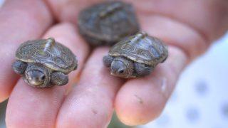 tartarughe baby plastica