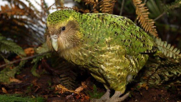 pappagallo kakapo