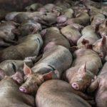 Maiali uccisi a bastonate nei mattatoi thailandesi IMMAGINI CHOC