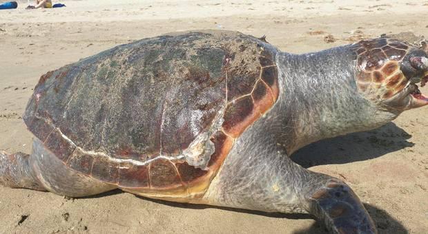 Tartaruga trovata morta: ancora un'altra vittima della plastica VIDEO