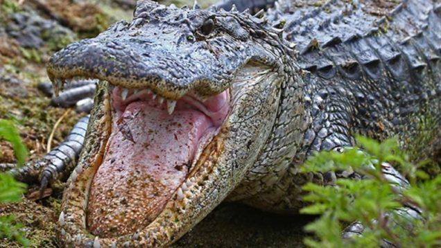 alligatori drogati 2