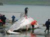 balene caccia islanda