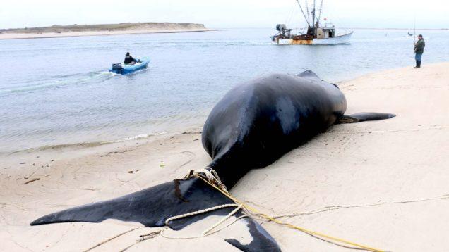 balene rischio estinzione5