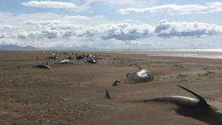 balene spiaggiate islanda 5-min