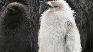 pinguino antartico bianco 3
