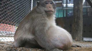 scimmia obesa thailandia