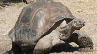testuggine gigante Galapagos
