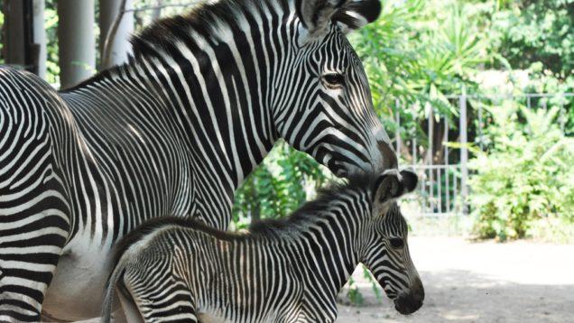 bioparco roma zebra (2)