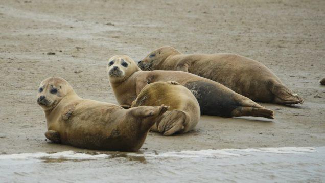 cuccioli foche tamigi 1