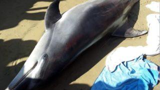 delfino morbillo
