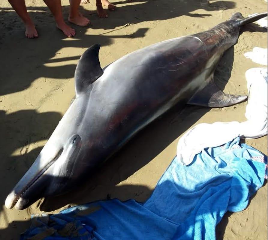Delfino trovato morto sulla spiaggia. Legambiente teme un'epidemia di morbillo