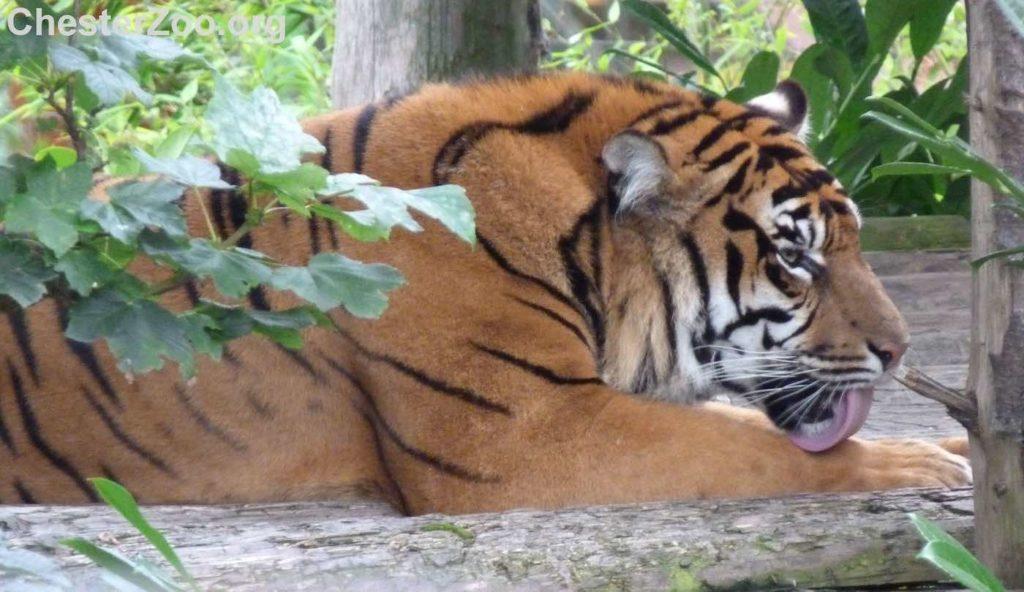 Animali, impiantato per la prima volta un arto prostetico in una tigre