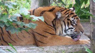 animale tigre arto prostetico