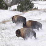 Animali, dopo 150 anni i bisonti tornano a solcare le praterie americane VIDEO