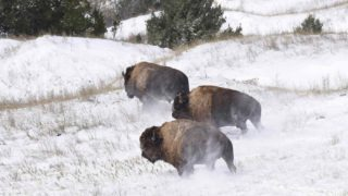 animali, bisonti tornano in South Dakota