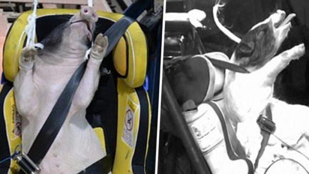 animali, maiali usati come crash test
