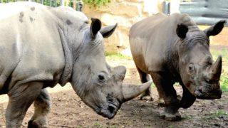 rinoceronti bianchi (1)