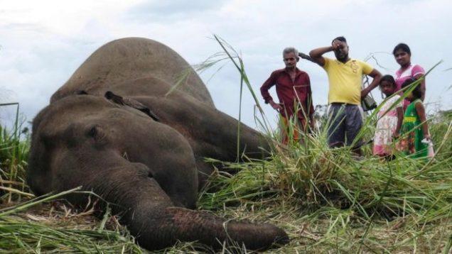 strage elefanti Sri Lanka 3