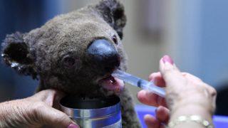 Koala incendi