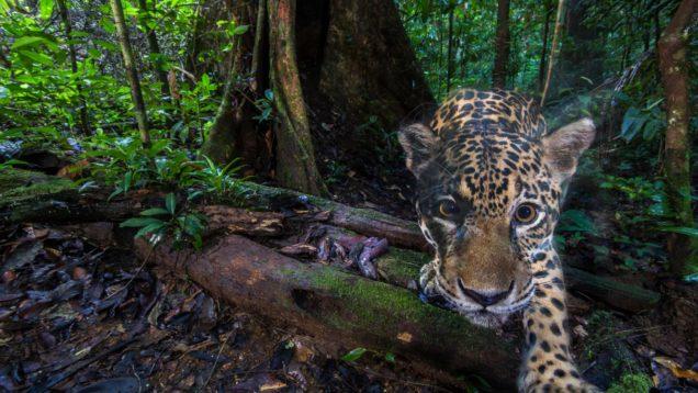 animali giaguari
