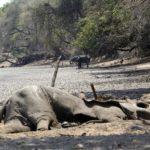 Zimbabwe, 200 elefanti morti di fame a causa della siccità