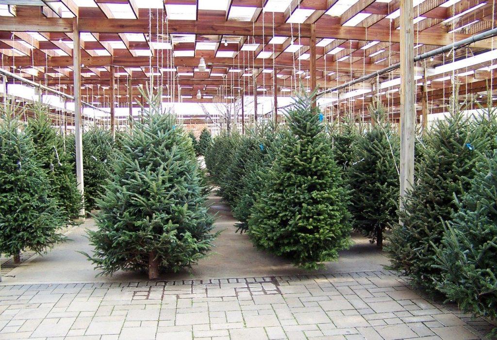Natale, 3 milioni e mezzo di famiglie scelgono l'abete naturale