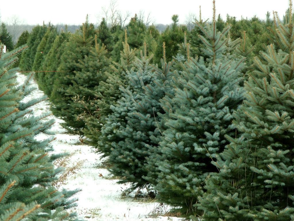 Natale, meglio un albero vero o di plastica?