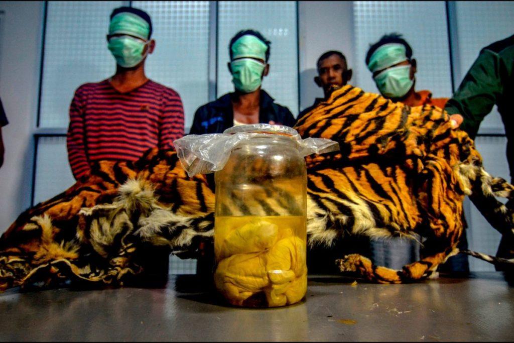 Bracconaggio, trovati pelle di una tigre e cinque feti in un vaso