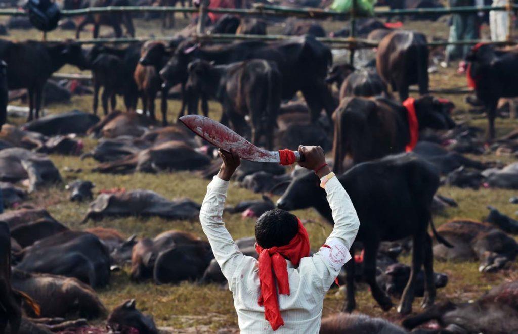 Festival Gadhimai, quest'anno un massacro di 5.000 animali. Continuano le proteste
