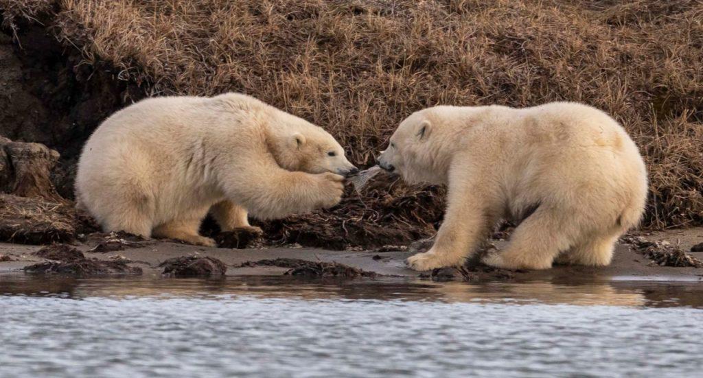 Orsi polari in cerca di cibo: potrebbero aver ingerito plastica