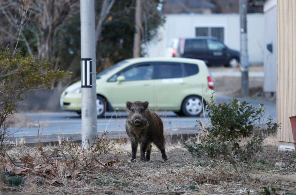 Giappone, gli animali ritornano a Fukushima nonostante il livello delle radiazioni