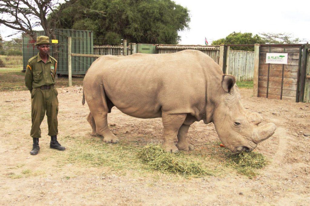 Animali, salvare il rinoceronte bianco con la fecondazione artificiale